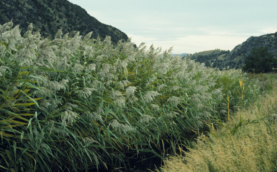 Phragmites australis - © Photo : Matt Lavin, Montana State University